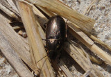 Amarocelia Seed-eating Ground Beetle species
