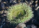 Sunburst Sea Anemone