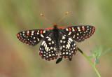 Euphydryas chalcedona; Chalcedon Checkerspot