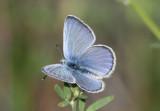 Glaucopsyche lygdamus; Silvery Blue; male