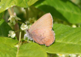Callophrys augustinus; Brown Elfin