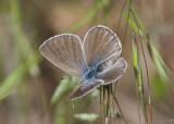 Glaucopsyche lygdamus; Silvery Blue; female