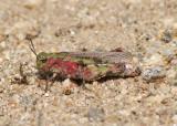 Chimarocephala pacifica; Painted Meadow Grasshopper; female