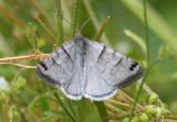 8736 - Caenurgina caerulea; Looper Moth species