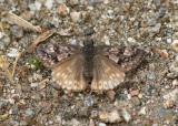 Erynnis propertius; Propertius Duskywing; female