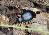Scaphinotus Ground Beetle species