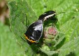 Cosmopepla uhleri; Stink Bug species; mating pair
