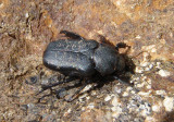 Cremastocheilus schaumii; Anteater Scarab Beetle species