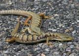 California Alligator Lizard pair