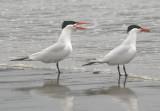 Caspian Terns; breeding