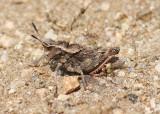 Dracotettix monstrosus; Dragon Lubber Grasshopper