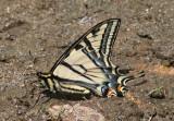 Papilio rutulus; Western Tiger Swallowtail