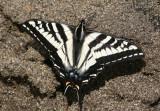 Papilio eurymedon; Pale Swallowtail