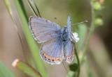 Plebejus acmon; Acmon Blue; male