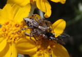 Oxyopes scalaris; Western Lynx Spider with prey