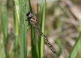 Rhionaeschna californica; California Darner