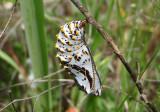 Euphydryas chalcedona; Chalcedon Checkerspot chrysalis