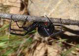 Latrodectus hesperus; Western Black Widow; female