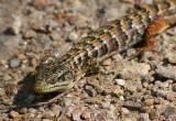 California Alligator Lizard