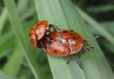 Chelymorpha cassidea; Argus Tortoise Beetle pair