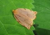 3662 - Archips rileyana; Tortricid Moth species
