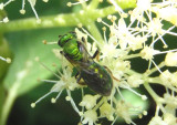 Augochlora pura; Sweat Bee species