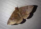 8727 - Parallelia bistriaris; Maple Looper Moth