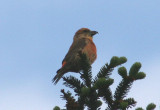 Red Crossbill; male