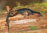Red-cheeked Salamander