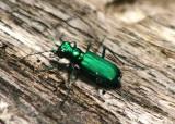 Cicindela sexguttata; Six-spotted Tiger Beetle