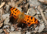 Polygonia comma; Eastern Comma; summer form