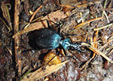 Scaphinotus tricarinatus; Ground Beetle species