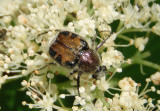 Trichiotinus affinis; Flower Chafer species