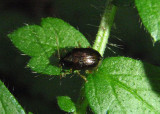 Rhabdopterus Leaf Beetle species