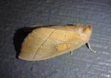 7915 - Nadata gibbosa; White-dotted Prominent