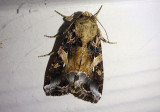 9669 - Spodoptera ornithogalli; Yellow-striped Armyworm Moth