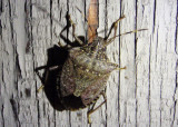 Halyomorpha halys; Brown Marmorated Stink Bug