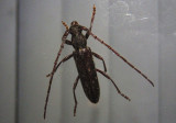 Anelaphus villosus; Twig Pruner