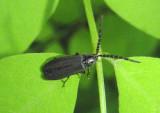 Lucidota punctata; Firefly species