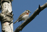 Chestnut-sided Warbler; male