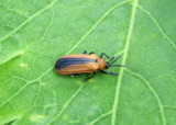 Odontota dorsalis; Locust Leaf Miner