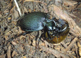 Scaphinotus tricarinatus; Ground Beetle species; eating a snail