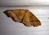 6842 - Plagodis phlogosaria; Straight-lined Plagodis
