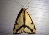 8111 - Haploa lecontei; LeConte's Haploa