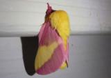 7715 - Dryocampa rubicunda; Rosy Maple Moth