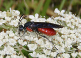 Arge humeralis; Poison Ivy Sawfly