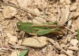Chortophaga viridifasciata viridifasciata; Northern Green-striped Grasshopper; female