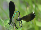 Calopteryx maculata; Ebony Jewelwings; mating pair