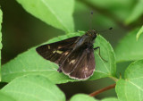 Pompeius verna; Little Glassywing