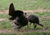 Wild Turkeys; males